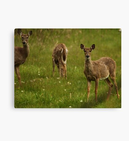 Three Deer Canvas Print