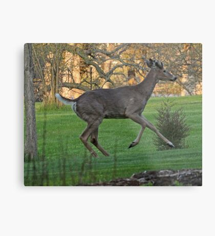 Running White-Tailed Buck Metal Print