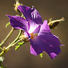 Lilac Hibiscus by Eve Parry