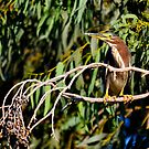 Green-Backed Heron by George I. Davidson
