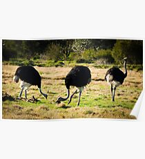 Ostrich at Werribee Open Range Zoo Poster