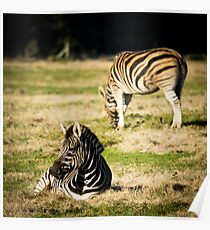 Zebra at Werribee Open Range Zoo Poster