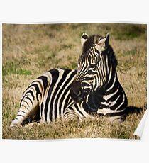 Zebra at Werribee Open Range Zoo Poster