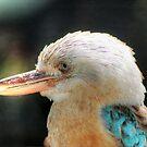 Blue Winged Kookaburra - Dacelo leachii by Eve Parry