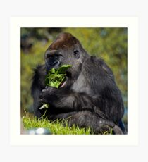 Gorilla at Werribee Open Range Zoo Art Print