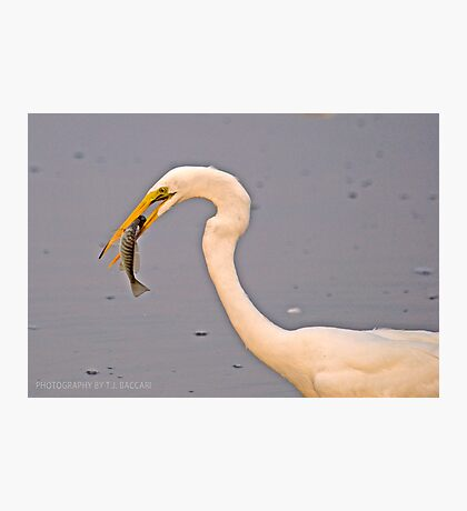 Egret Grabs 4th of July Breakfast Photographic Print