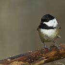 Black-capped Chickadee by Wayne Wood