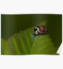 Three-banded Lady Poster