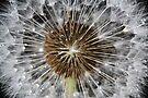 Dandelion beauty by Photos - Pauline Wherrell