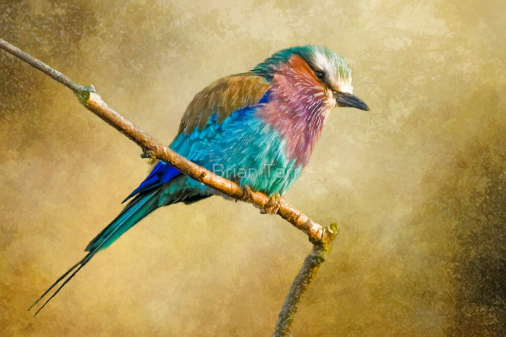 Lilac Breasted Roller by Tarrby