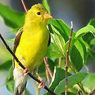 Prairie Canary by lorilee
