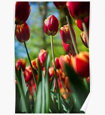Red / Yellow Tulips @ Keukenhof Poster