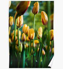 Yellow / Red Tulips @ Keukenhof Poster