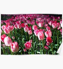 Pink Tulips @ Keukenhof Poster