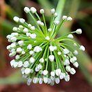 Onion Blossom by Christine Ford