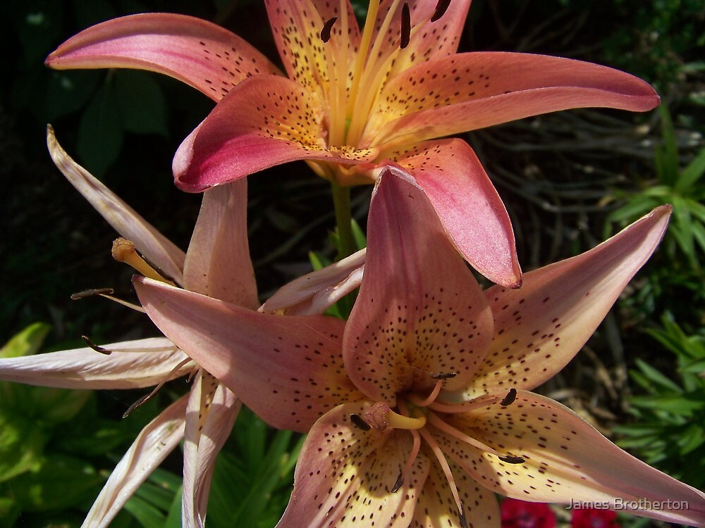 Lilies by James Brotherton