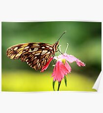 Gulf fritillary tropical butterfly Poster
