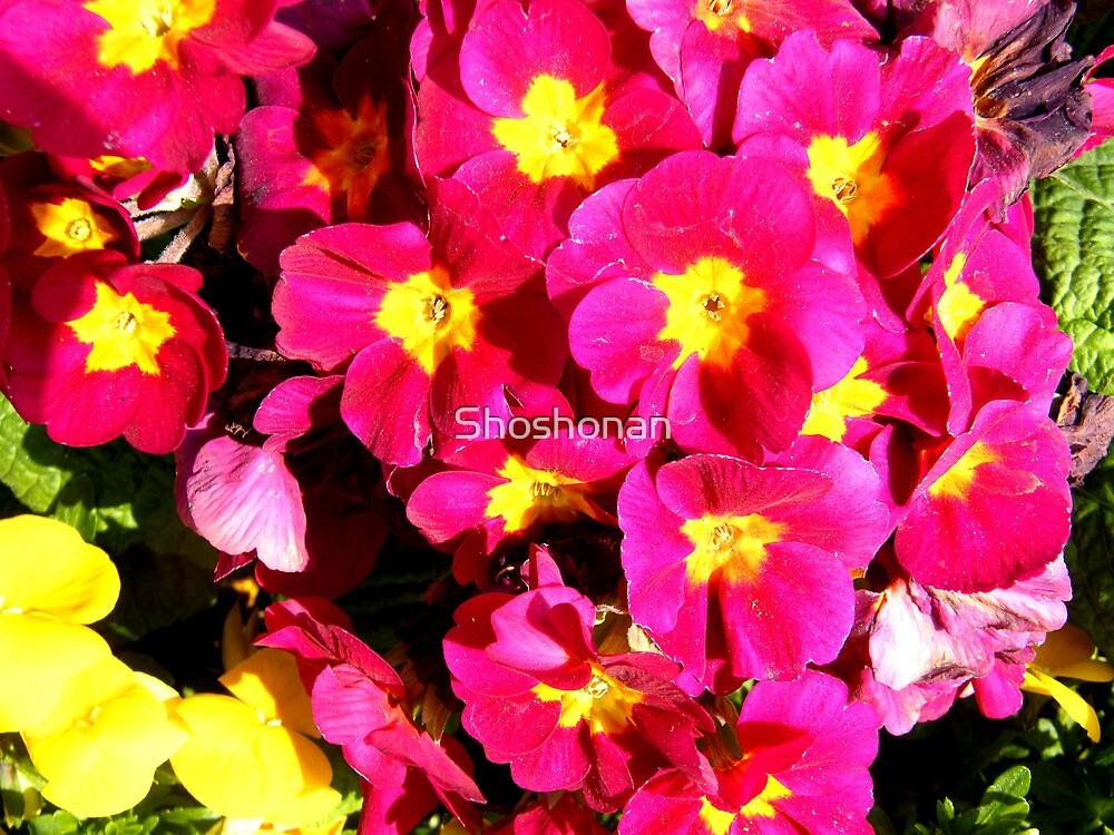 Pink Polyanthus by Shoshonan