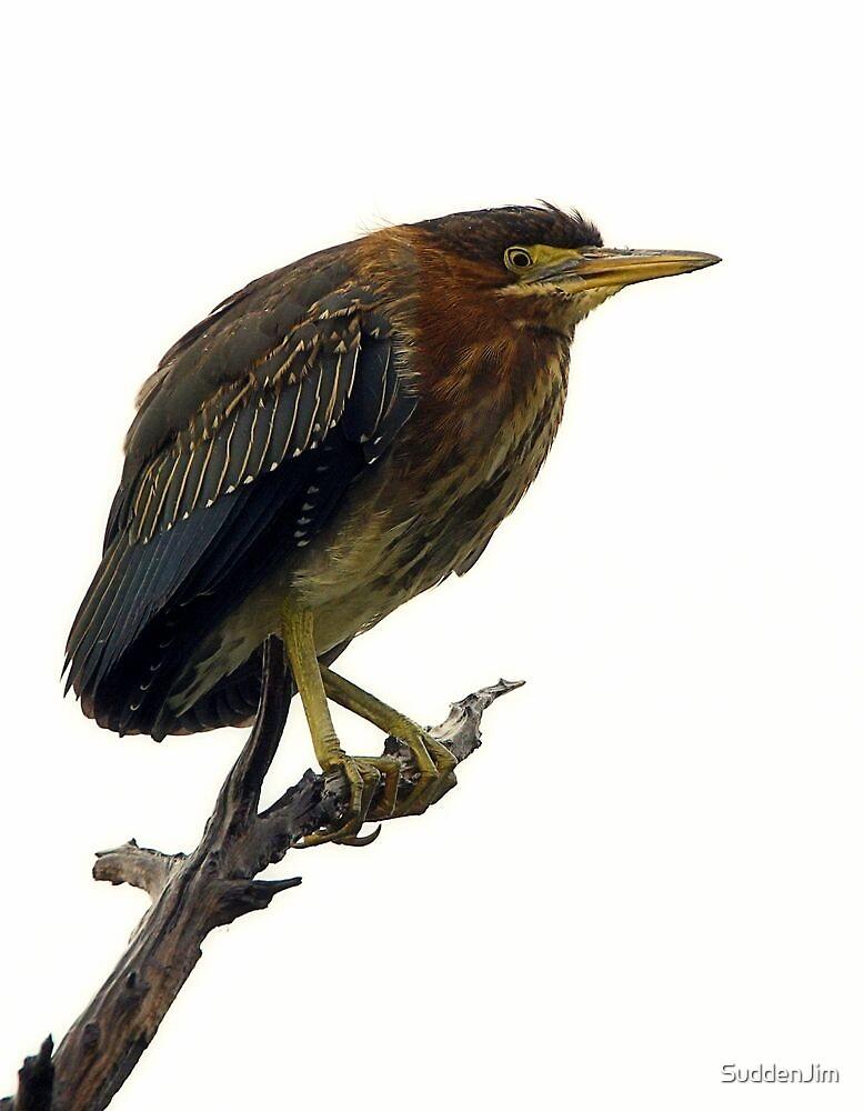 Heron, Fledgling by SuddenJim