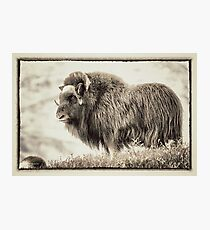 musk ox Photographic Print