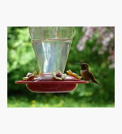 Mr Hummingbird stops by for a drink Photographic Print