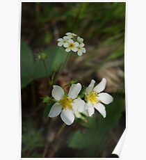 Wildflowers Of Kananaskis Country Poster