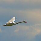 Swan in Flight by Bill  Watson
