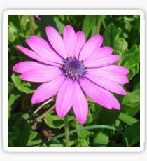 Single Pink African Daisy Against Green Foliage Sticker