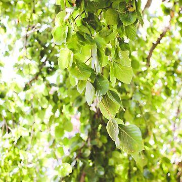 Willow Vert de AmberRoques