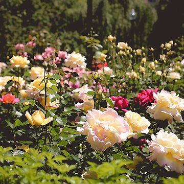 Rosey Parches de AmberRoques