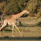 Galloping Giraffe by Scott Carr