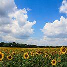 Sunflower Fields Forever by laruecherie
