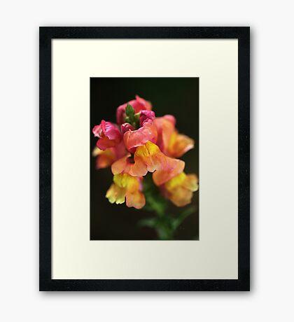 Snapdragon Flowers A Childhood Memory  Framed Print