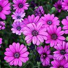 Pink Daisies by Lynn Starner