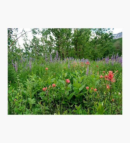 Lupines, Indian Paintbrush and Aspens Photographic Print