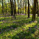 Light streams on the bluebells at Oversley Wood by Elana Bailey