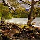A tree shows its roots and all in the Lake District, Cumbria by Elana Bailey