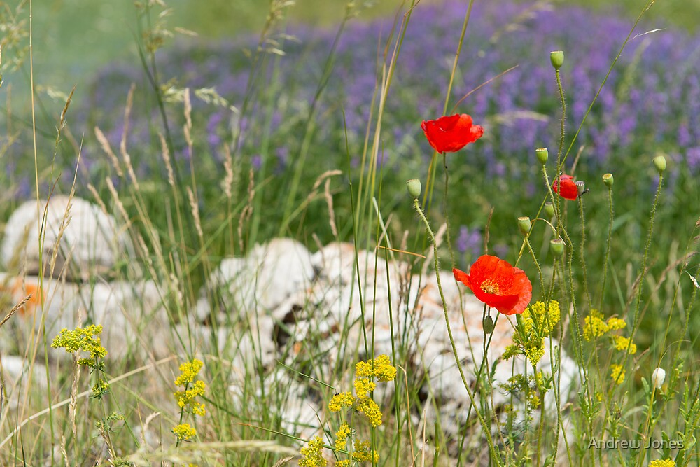 Poppies, Piano Grande, Umbria, Italy by Andrew Jones