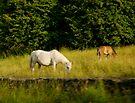 Irish Horses by Louise Fahy