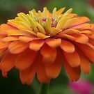 Zinnia Blossom by Rainy
