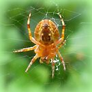 Baby Cross Spider (Araneus) by ©The Creative  Minds