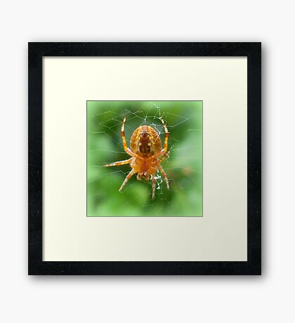 Baby Cross Spider (Araneus) Framed Print