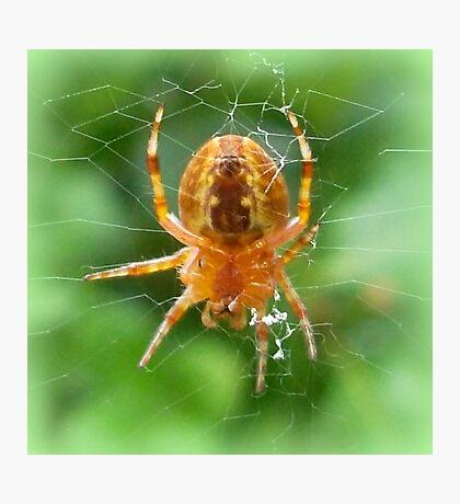 Baby Cross Spider (Araneus) Photographic Print