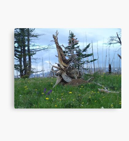 ROOT SCULPTURE IN A BURN - NR BROWNING, MT Canvas Print