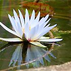 WATER LILLY REFLECTION by Magriet Meintjes