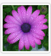 Purple African Daisy with Raindrops Sticker