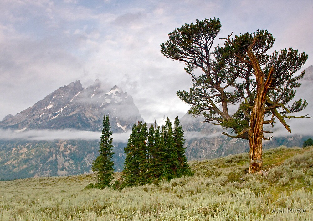 Patriarch Tree and Ribbon Cloud, Grand Teton National Park by A.M. Ruttle