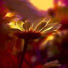 Gänseblümchen-Glühen von Teresa Pople