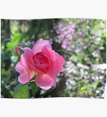 Pink Rose with Meadow Rue Poster