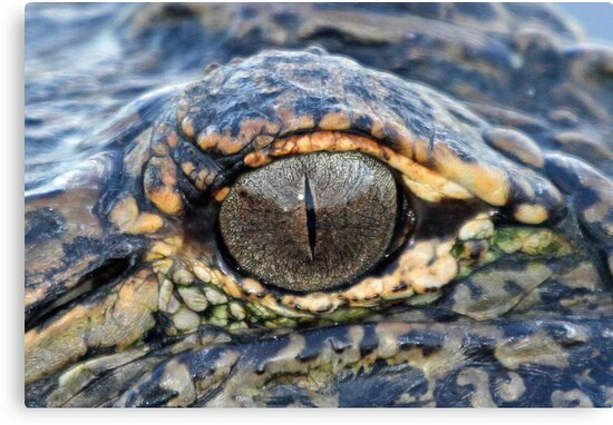 The eye of the gator ! by Anthony Goldman